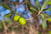 Olive tree with two olives in a branch — Stock Photo
