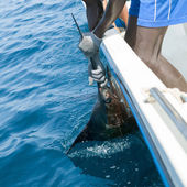 Sailfish catch billfish sportfishing holding bill — Stock Photo
