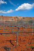 Winter leafless vineyard field in Utiel Requena Spain — Stock Photo