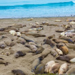 California Elephant Seals in Piedras Blancas point Big Sur — Stock Photo #40187101