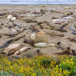 California Elephant Seals in Piedras Blancas point Big Sur — Stock Photo #40187197