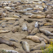 California Elephant Seals in Piedras Blancas point Big Sur — Stock Photo #40187477