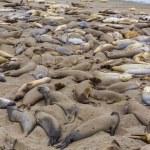 California Elephant Seals in Piedras Blancas point Big Sur — Stock Photo #40187899