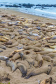 California Elephant Seals in Piedras Blancas point Big Sur — Stock Photo