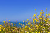 California Pigeon point spring flowers in Cabrillo Hwy coastal h — Stock Photo