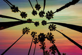 California Palm trees view from below in Santa Barbara — Stock Photo