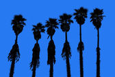 California palm trees washingtonia western surf flavour — Stock Photo