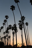 California sunset Palm tree rows in Santa Barbara — Stock Photo