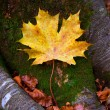 Autum alamo yellow leaf in a beech forest Pyrenees Ordesa — Stock Photo