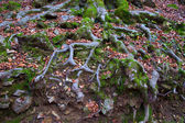 Autumn beech tree forest roots in Pyrenees Valle de Ordesa — Zdjęcie stockowe