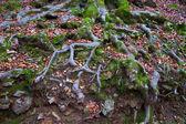 Autumn beech tree forest roots in Pyrenees Valle de Ordesa — Zdjęcie stockowe