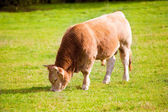 Cows grazing in Pyrenees green autumn meadows at Spain — Stock Photo