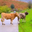 Stock Photo: Cows in a Pyrenees road of Irati jungle at Navarra Spain