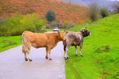 Cows in a Pyrenees road of Irati jungle at Navarra Spain — Stock Photo