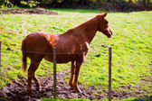 Brown horse near fence in Navarra meadow near Pyrenees — Stock Photo