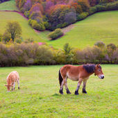 Horses and cows grazing in Pyrenees meadows at Spain — Stock Photo