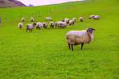 Latxa sheep in Pyrenees of Navarra grazing in meadow — Stock Photo
