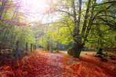 Autumn Selva de Irati beech jungle in Navarra Pyrenees Spain — Stock Photo