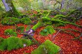 Autumn Selva de Irati beech jungle in Navarra Pyrenees Spain — Stock Photo