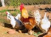 Gallo y gallinas en el corral de la casa — Foto de Stock