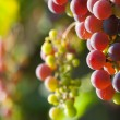 Red grapes — Stock Photo #13207022