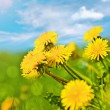 Spring dandelions — Stock Photo