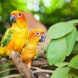 Tropical parrots — Stock Photo