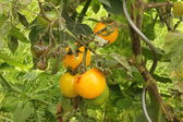 Brown rot on Tomatoes — Stock Photo