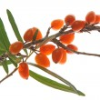 Sea buckthorn (Hippophae rhamnoides) — Stock Photo