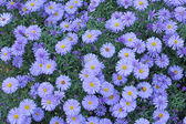 European Michaelmas Daisy (Aster amellus) — Stock Photo