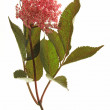 Постер, плакат: Red flowering black elder