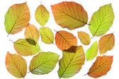Copper beech (Fagus sylvatica f purpurea) — Foto Stock