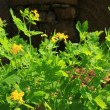 Stock Photo: Greater celandine Chelidonium majus