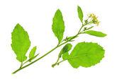 Brassica nigra — Stock Photo
