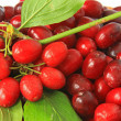 Cornelian cherries (Cornus mas) — Stock Photo #35485993