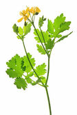 Celandine (Chelidonium majus) — Stock Photo