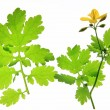 Celandine (Chelidonium majus) — Stock Photo