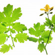 Stock Photo: Celandine (Chelidonium majus)