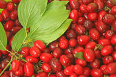 Cornelian cherries (Cornus mas) — Stock Photo
