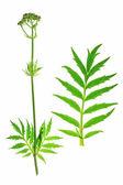 Valerian Valeriana officinalis — Stock Photo