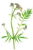Valerian Valeriana officinalis — Stock Photo