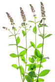 Spearmint (Mentha spicata) — Stock Photo