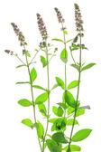 Spearmint (Mentha spicata) — Stock Photo
