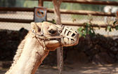 Camel with muzzle — Foto Stock