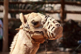 Camel with muzzle — Stock Photo