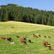 Cows wearing bells are grazing in a beautiful green meadow in t — Stock Photo #29772437