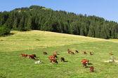 Porter des cloches de vaches paissent dans un pré vert bel dans t — Photo