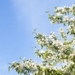Spring tree blossom - White flowers over blue sky — Stock Photo