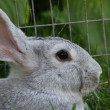 Stock Photo: Rabbit