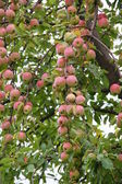 Apple-tree garden — Stock Photo